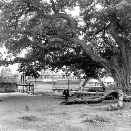 Temple-iluppai-tree.jpg